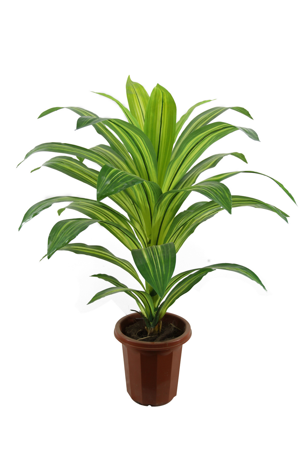 Dracaena-Fragrans-Bonsia-JTLA-0018-